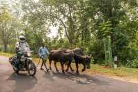 man on motorcycle next to cows on motorcycle tour in india