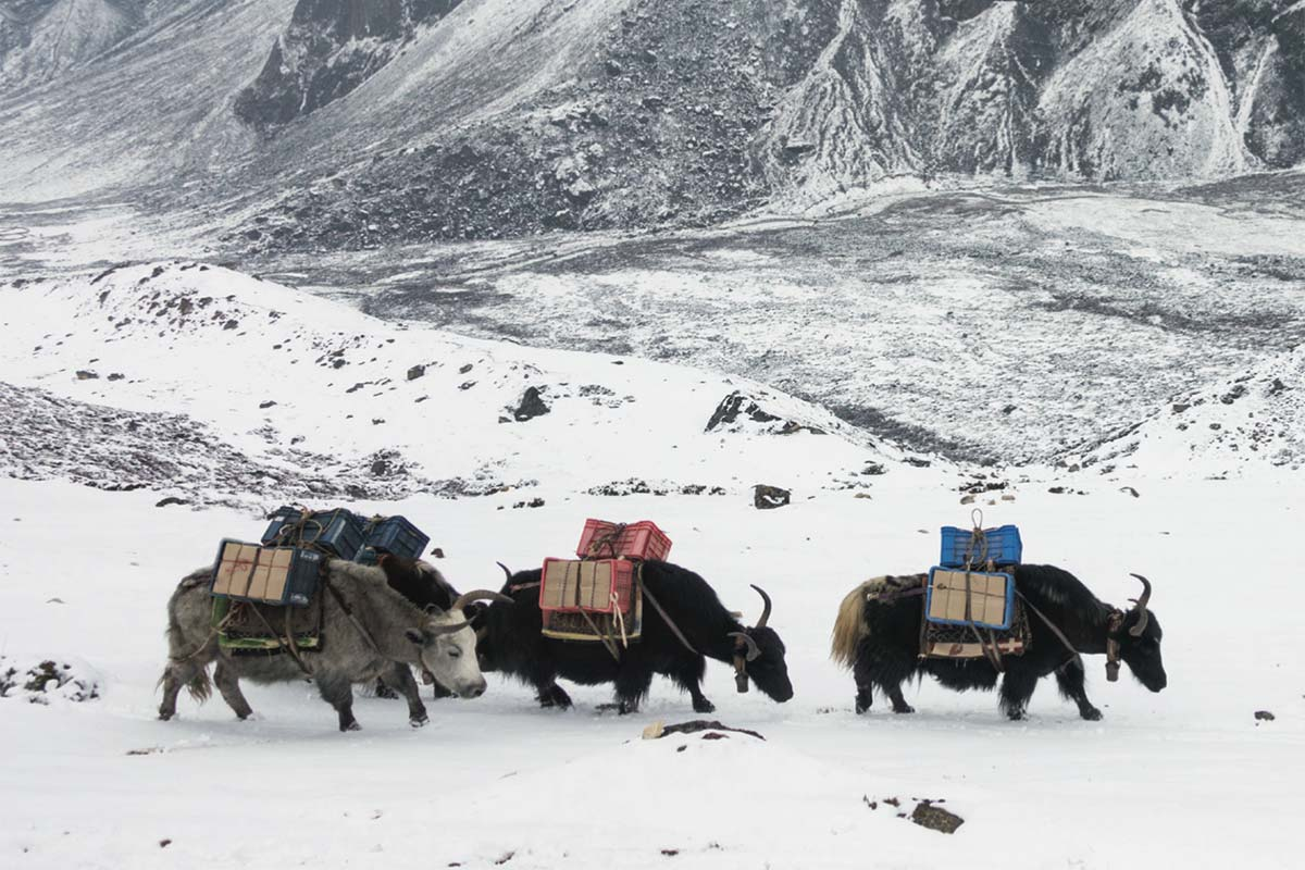 yaks in snow